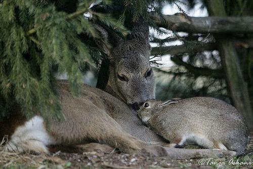 rådyr og kanin