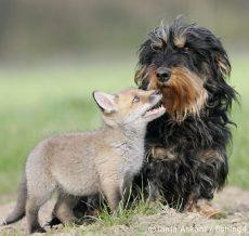 Reven og hunden - like følelser, men respekteres ulikt av mennesker. Foto: Tanja Askani
