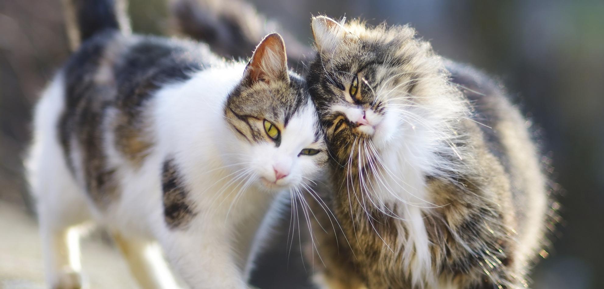 To katter koser med hverandre