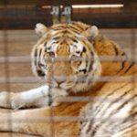 Tigeren Tony er reddet!