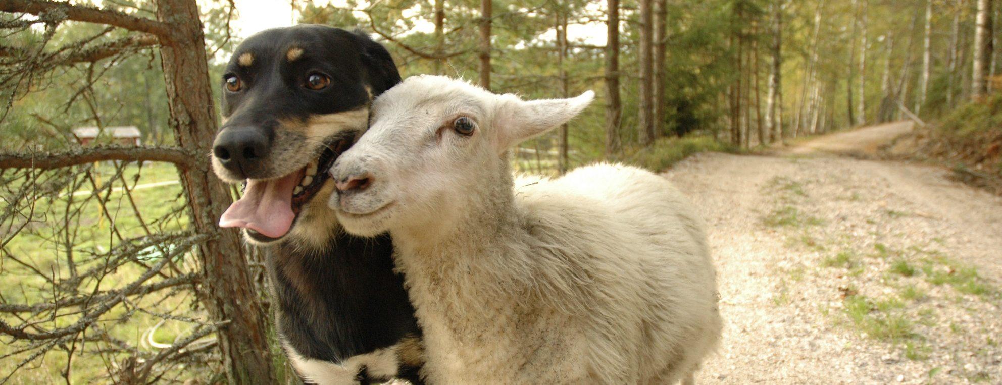 En hund og sau som hilser