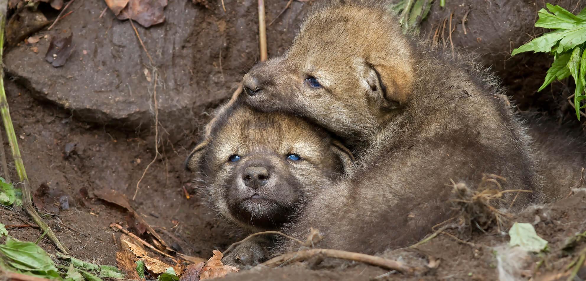 To ulvevalper ligger og koser i hiet