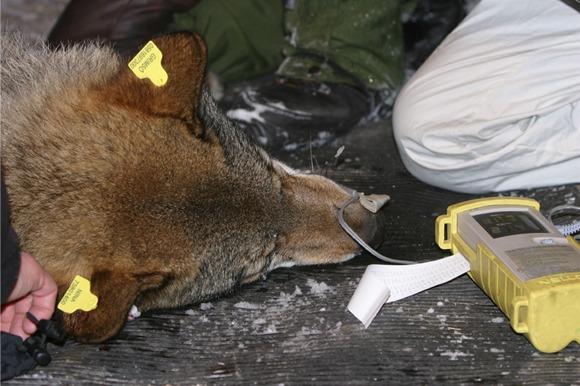 En ulv om ligger på bakken og holdes nede med øremerker og halsbånd som skal påsettes.