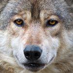 Da ulvene kom tilbake