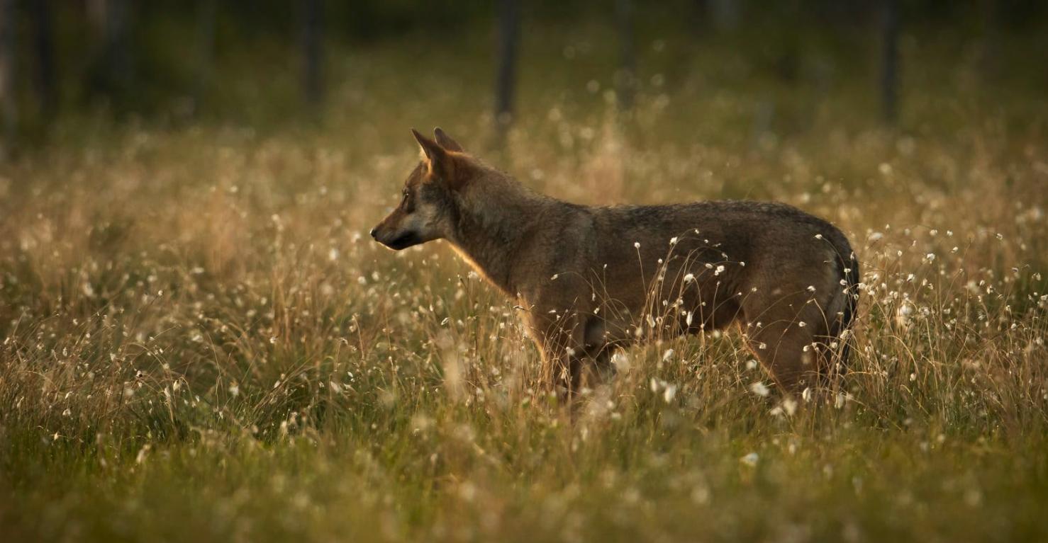 En lys ulv står i en gul eng.