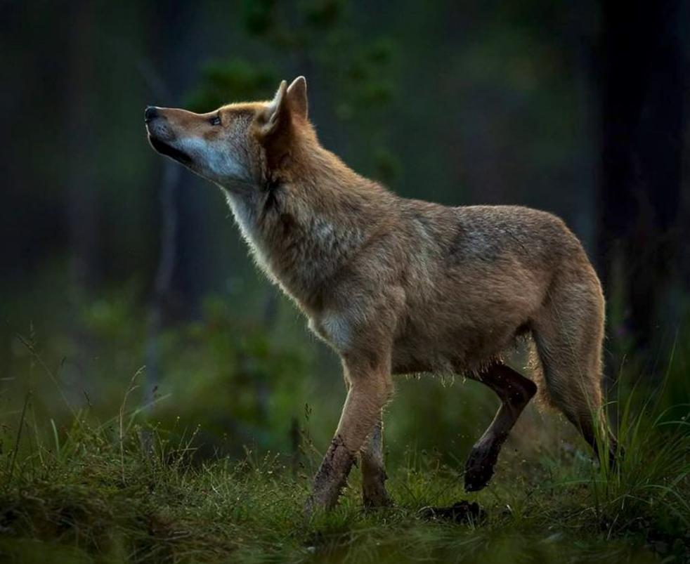 En ung ulv kikker opp mot himmelen.