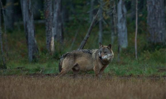 En ulv som står på engen i skogen.