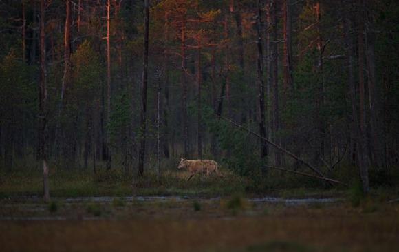 En ulv som går i skogen med solnedgangen som lyser opp trærne.