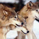 NOAH klager norsk rovdyrpolitikk inn for Bern- konvensjonen