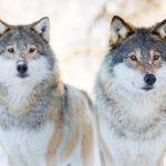Julegave fra minister Helgesen: 32 ulver får leve