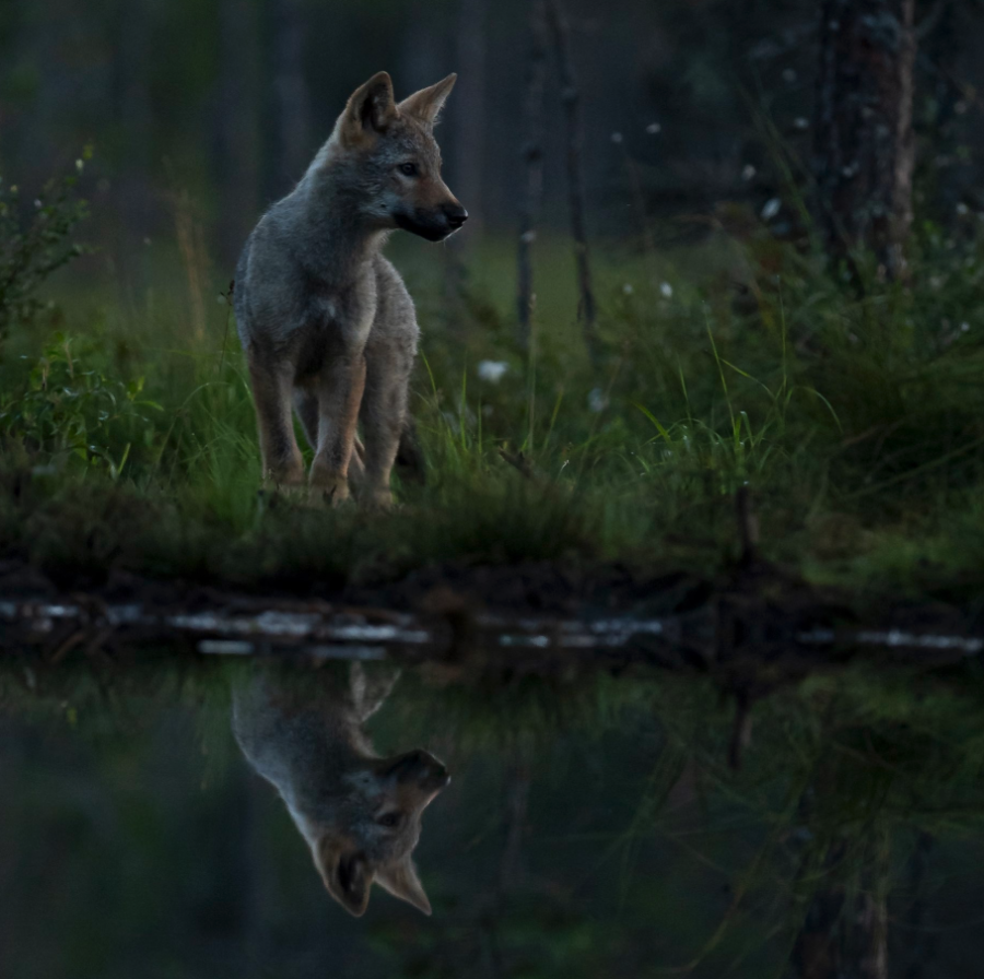 En ulvevalp står ved vannet slik at man ser hele refleksjonen.
