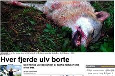 Rovdyr: En ulv som er skutt.
