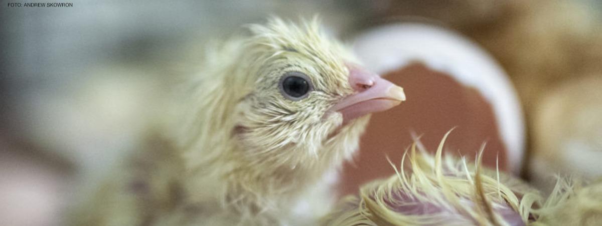 bildet viser en nyklekket kylling