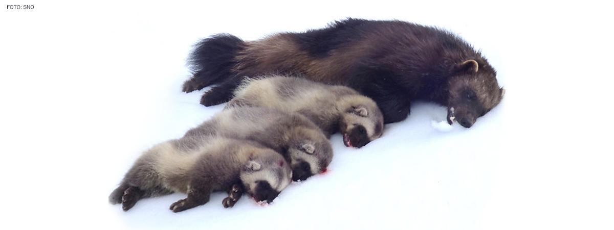 Bildet viser en død jervemor som ligger ved siden av sine tre døde valper. Bildet er tatt av SNO etter hijakt.