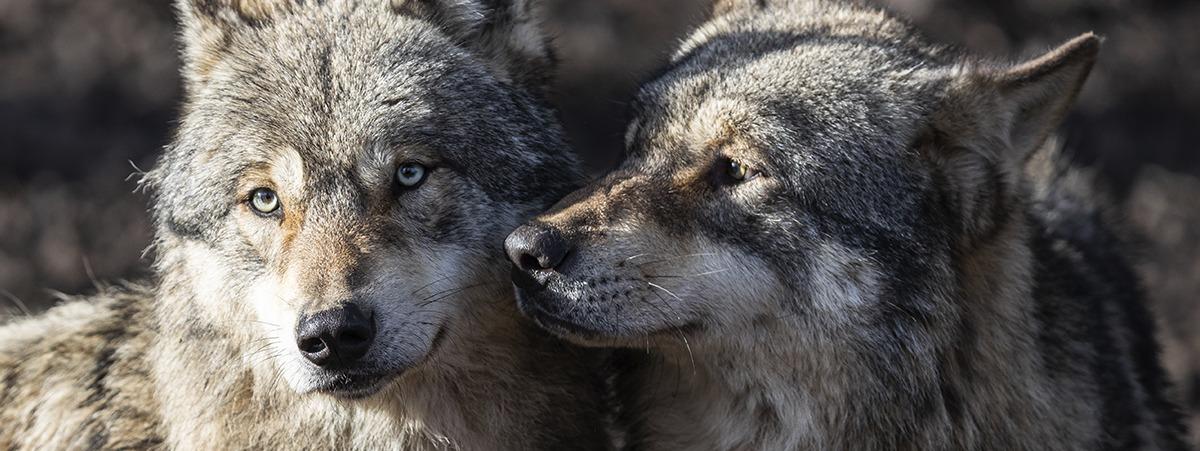 bildet viser to ulver sammen