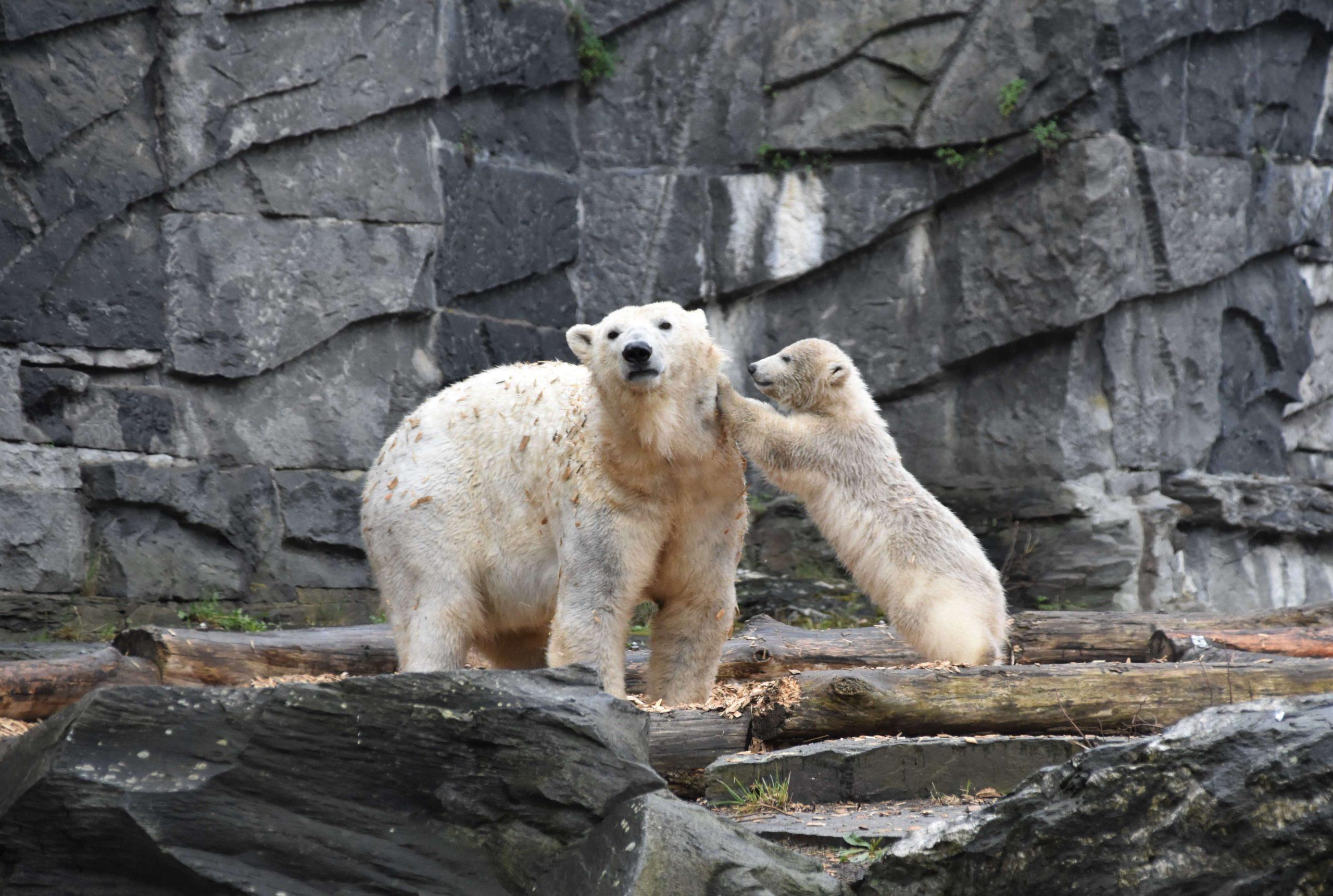 En møkkete isbjørn mor med isbjørnungen sin står på steiner i dyrepark