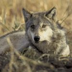 Skandaløst at regjeringen tillater bruk av plotthund i ulvejakt